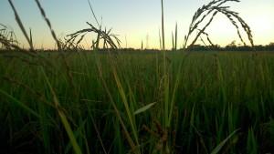 Beautiful Paddy Land